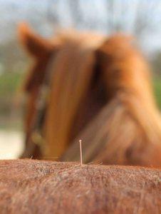 Pferde Akupunktur Praxis Spreckelsen